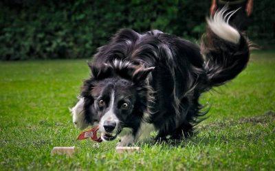 Nyinlärning kontra träning av den mer rutinerade hunden